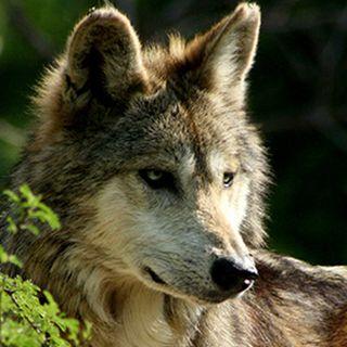Nacen seis ejemplares de lobo gris en Tamaulipas