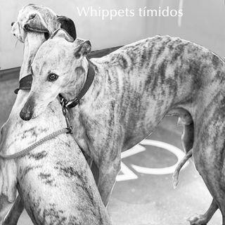 EP II #02 Entendendo melhor os Whippets - Série Como criar Whippets
