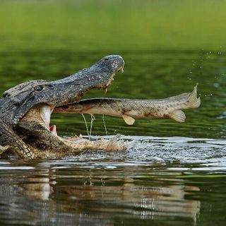Crocodiles are ready to shock you