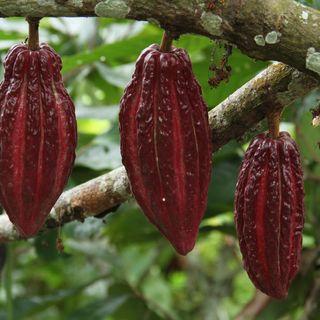Control de la Moniliasis en cultivos de cacao