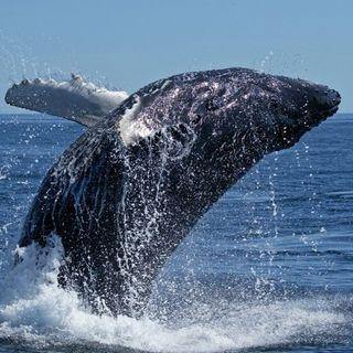 #ast Una balena sarebbe ricca
