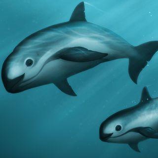 La vaquita marina