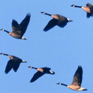 236 - Perché gli uccelli volano in formazione