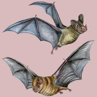 30 minutos de ciencia: desmitificando los murciélagos (IG LIVE)