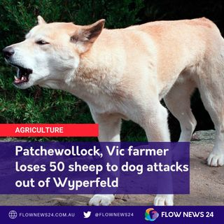 The Wild Dogs of Wyperfeld - Patchewollock farmer says he's lost 50 sheep - Victoria news
