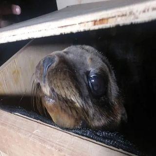 Los lobos marinos rescatados en la CDMX serán los próximos habitantes del zoológico de Chapultepec