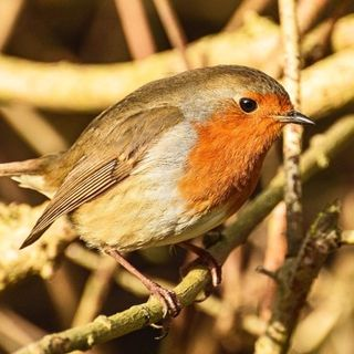 LeicesterSounds #2 - Roger The Robin, Aylestone Meadows, 6th January 2018