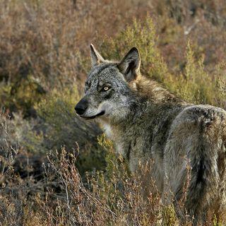 Situación del lobo en España, con Blanca Berzosa | Actualidad y Empleo Ambiental #47