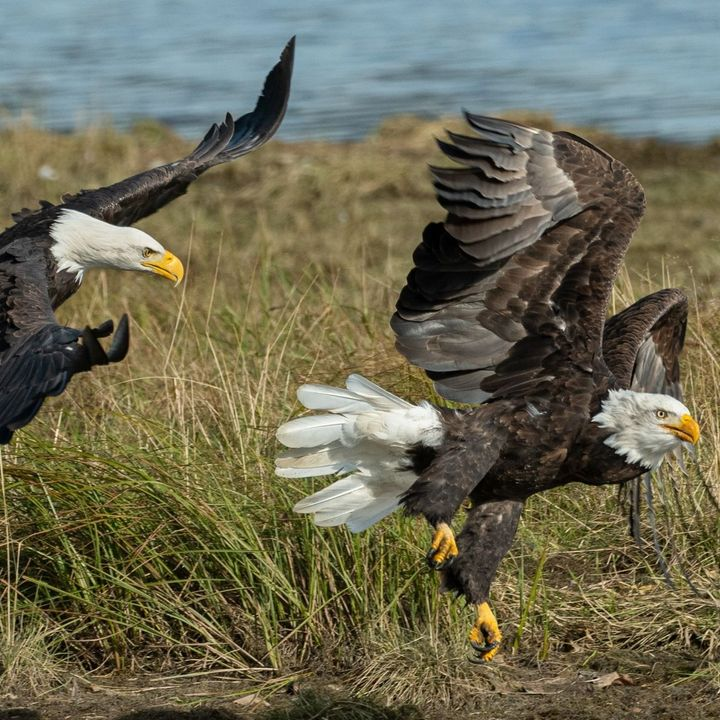 Parable of Two Eagles and a Vine - Ezekiel 17