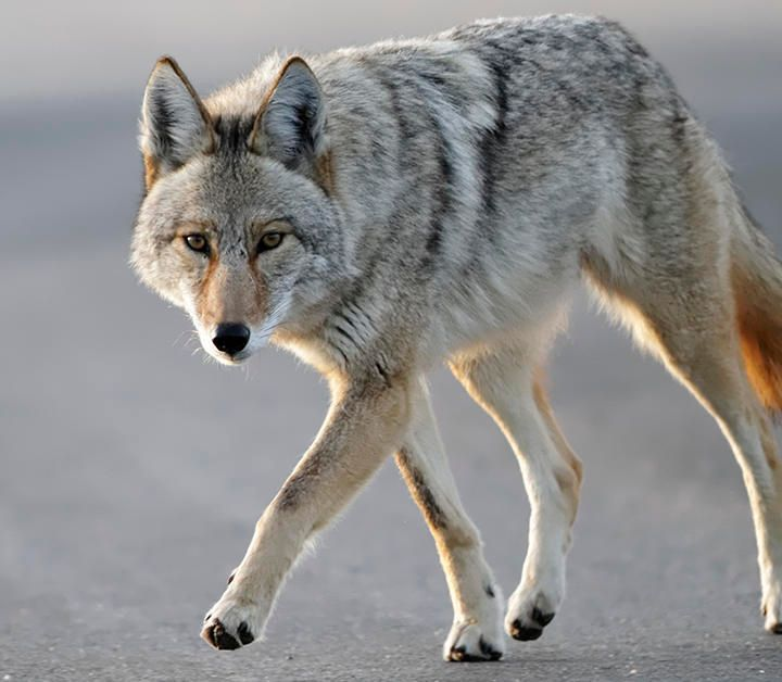 JP Woman Describes Being Followed By Coyotes With Her Dogs In Franklin Park