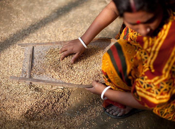 Dagli scarti di riso una soluzione sostenibile contro piante e suoli contaminati