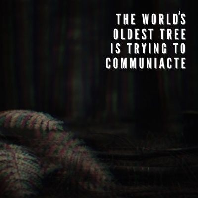The World's Oldest Tree Is Trying To Communicate Ep. 4