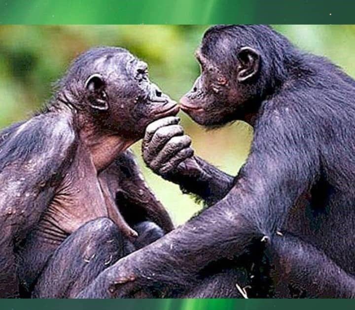 I bonobo, i nostri parenti più prossimi