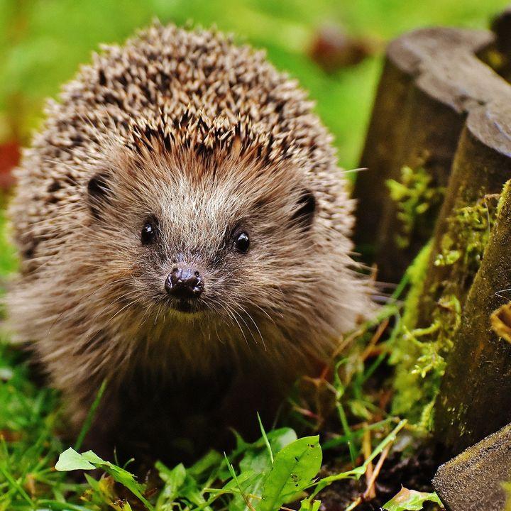 Prickles And Paws Hedgehog Rescue