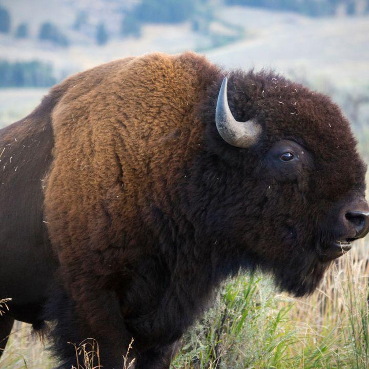 Episode #1 Buffalo vs Bison