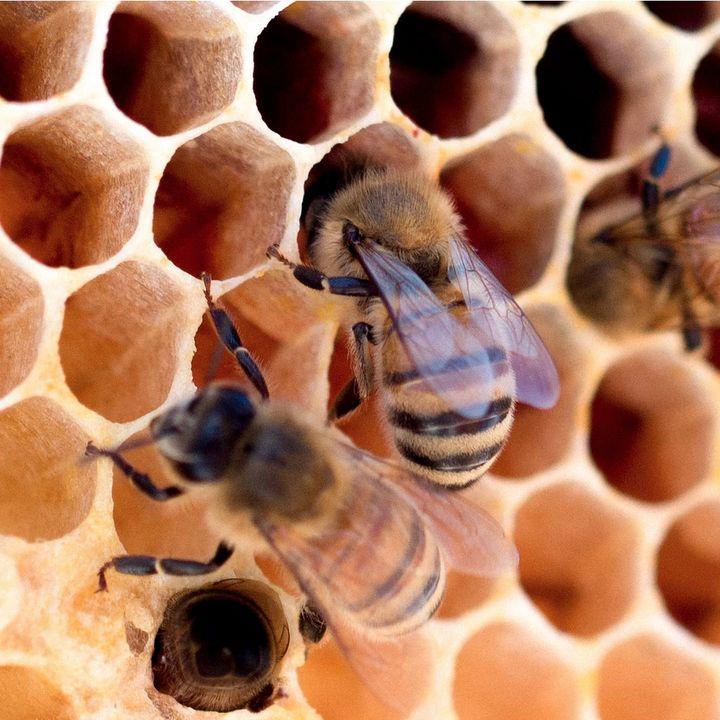 12 - Parola di Ape! Un'ape di Pisa si capirà con un'Ape di Livorno? Dialetti e accenti del mondo animale