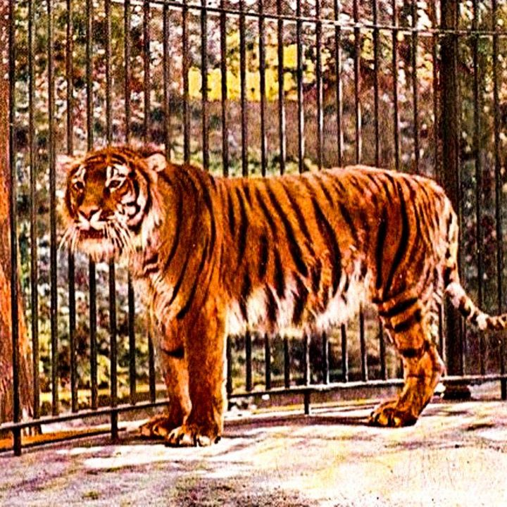 La tigre del Caspio