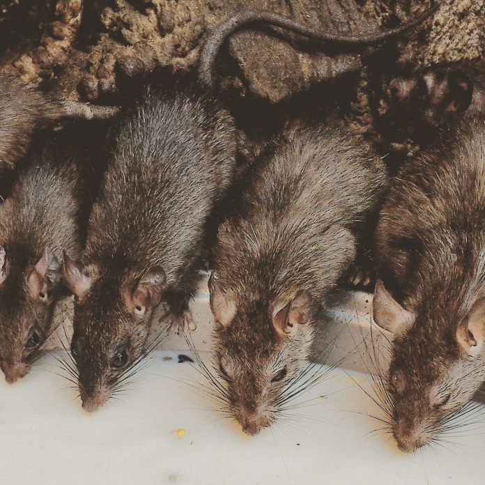 One baiting run against mice costs far more than farmers spend on vermin, weeds in a year - with @NSWFarmers data