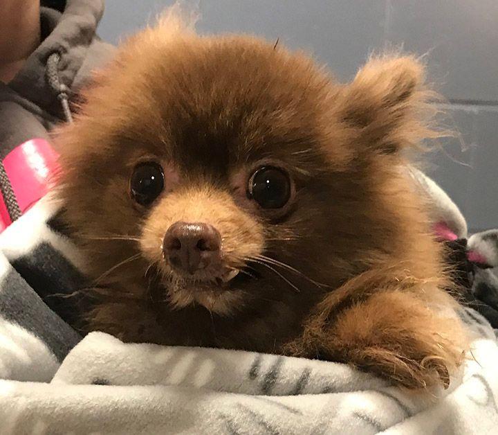 MSPCA Seeking Person Who Abandoned Pomeranian