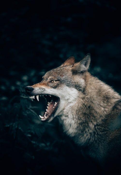 Feb 7 The Wolf Man