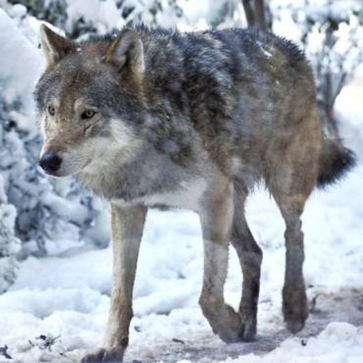 Il lupo e il cane