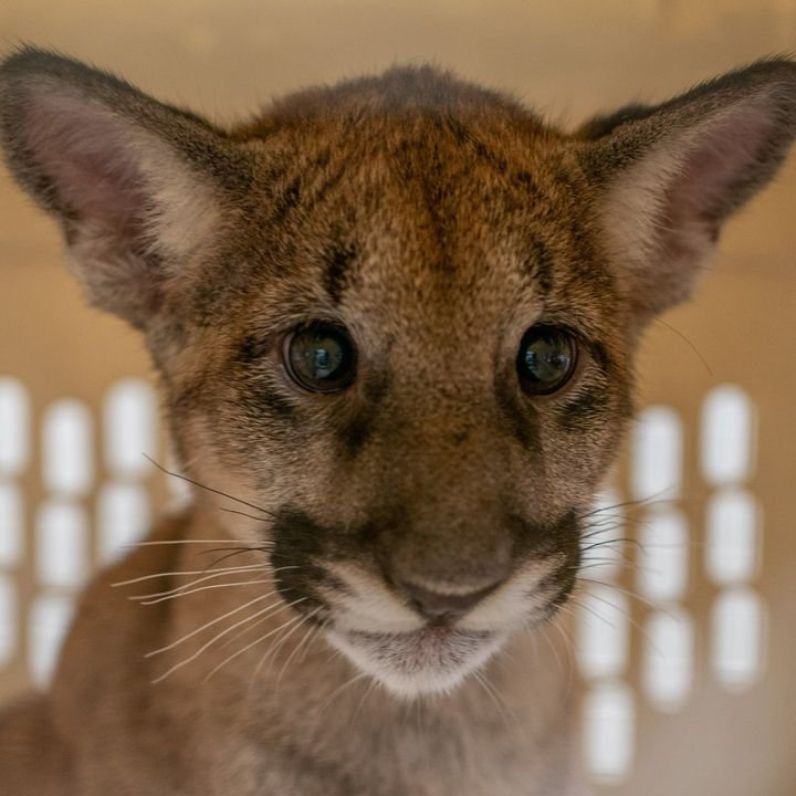 Panther Kittens Left Motherless by Disease - Dr. Ashley Ayoob