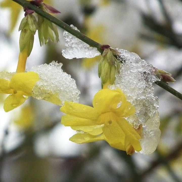 Winter Jasmine Companion Plants - DIY GM Ep. 129