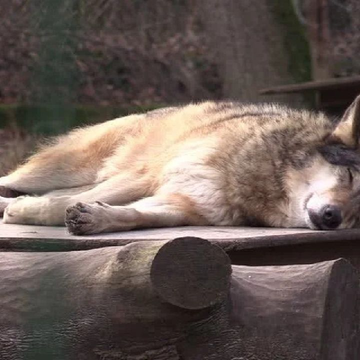 Podcast In English For Sleeping Wolf
