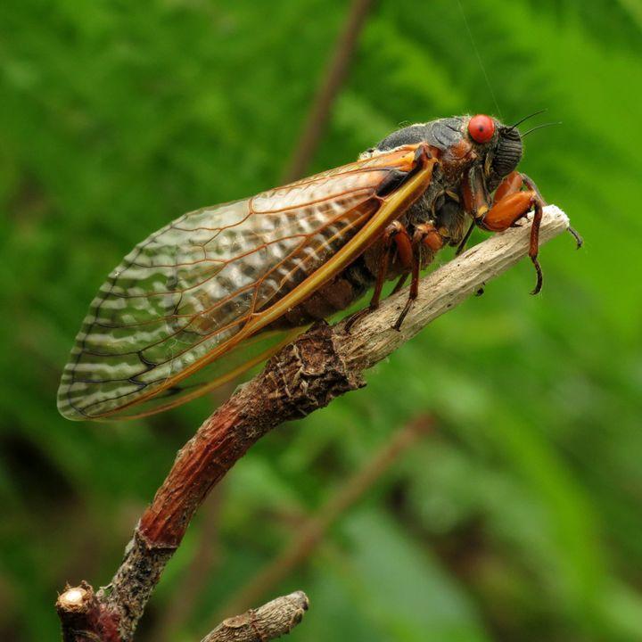 Cosmic Queries – Cicada Invasion! With Jessica Ware