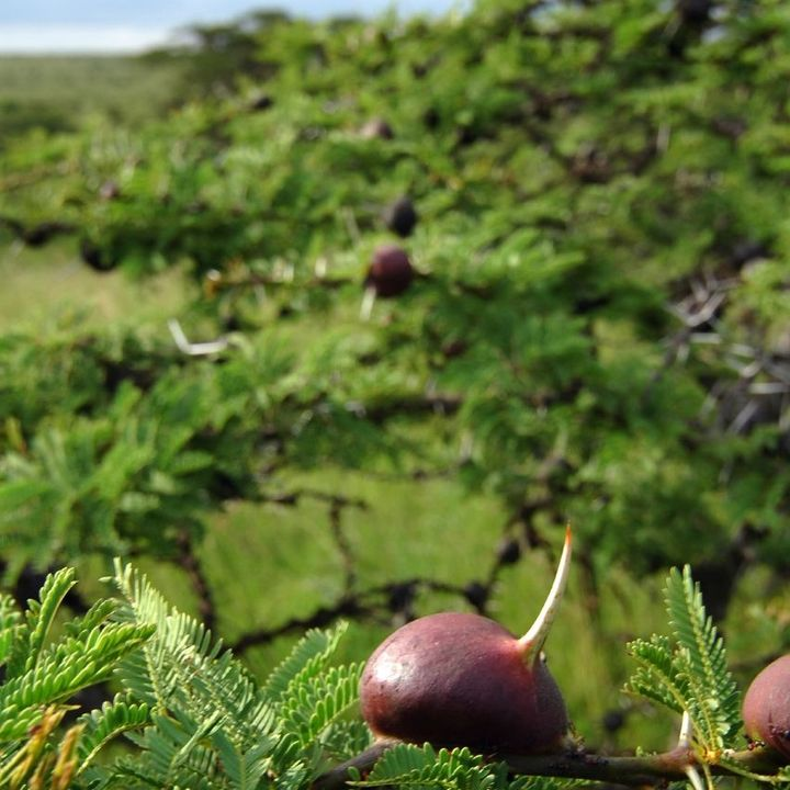 71 - La pianta che ammaestra le formiche per difendersi - Scienze Naturali