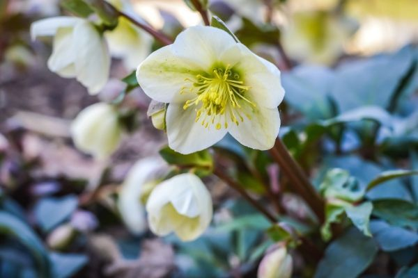 DIY GM Ep125 – Christmas Rose Companion Plants