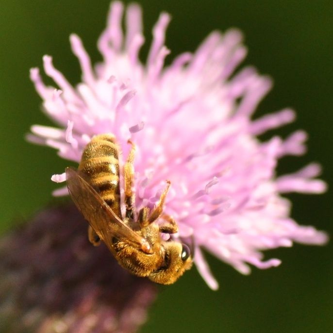 14. Czy można być pół-społecznym? Życie społeczne pszczół