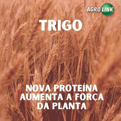 Em teste nova proteína natural para o trigo