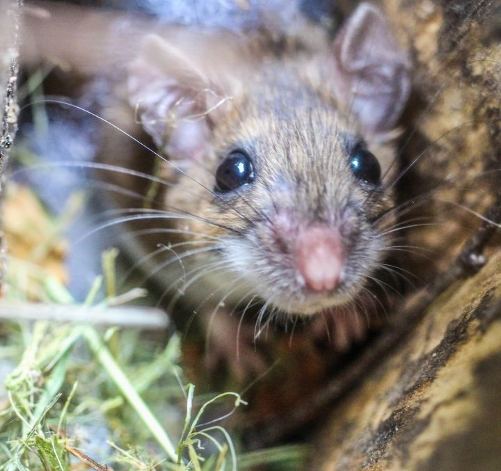 Does the government need to help halt the mouse plague? - with @NSWFarmers