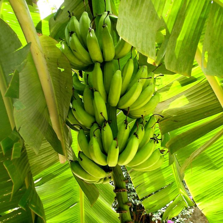 Manejo integrado del sistema productivo de plátano