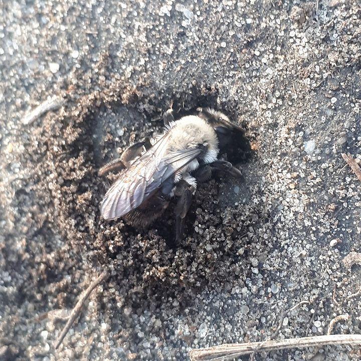 13. Pszczolinka ukrywa gniazdo