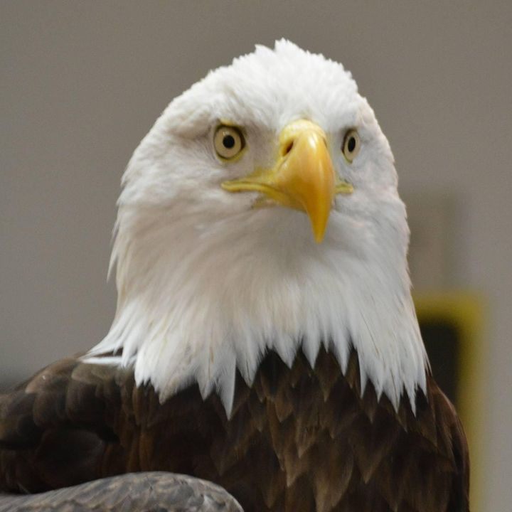 What's Killing Bald Eagles in Maryland?