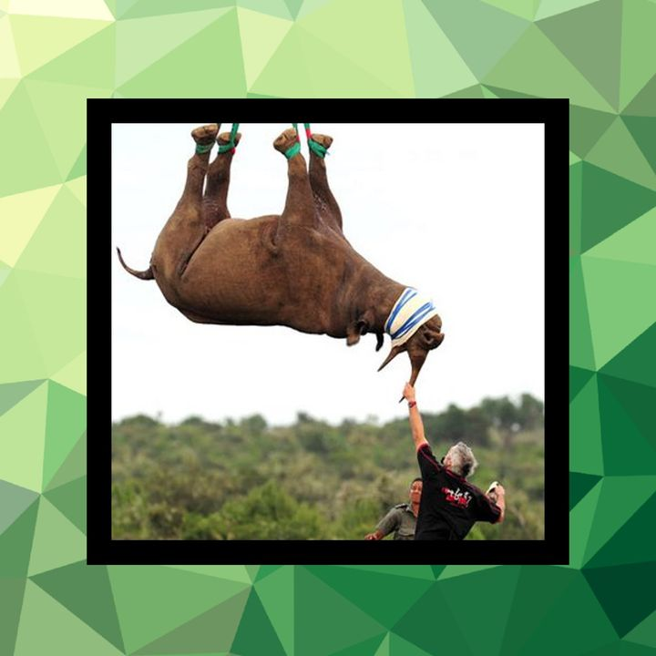 119 - Transportar rinocerontes de cabeza
