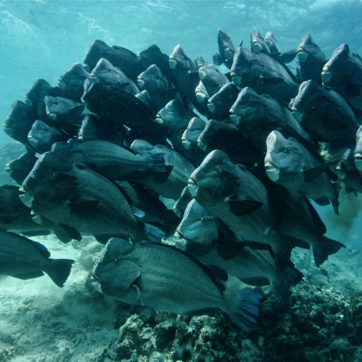 Stoa Scleractinia Ep3,  Part 2 Raising Bumphead Parrotfish in captivity to provide food security in Palau