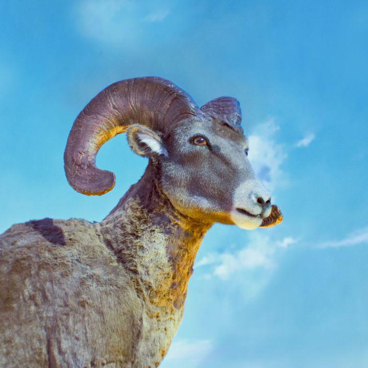 68 - Il Muflone e il liocorno - quale dei due è quello nella foto? - Zoologia
