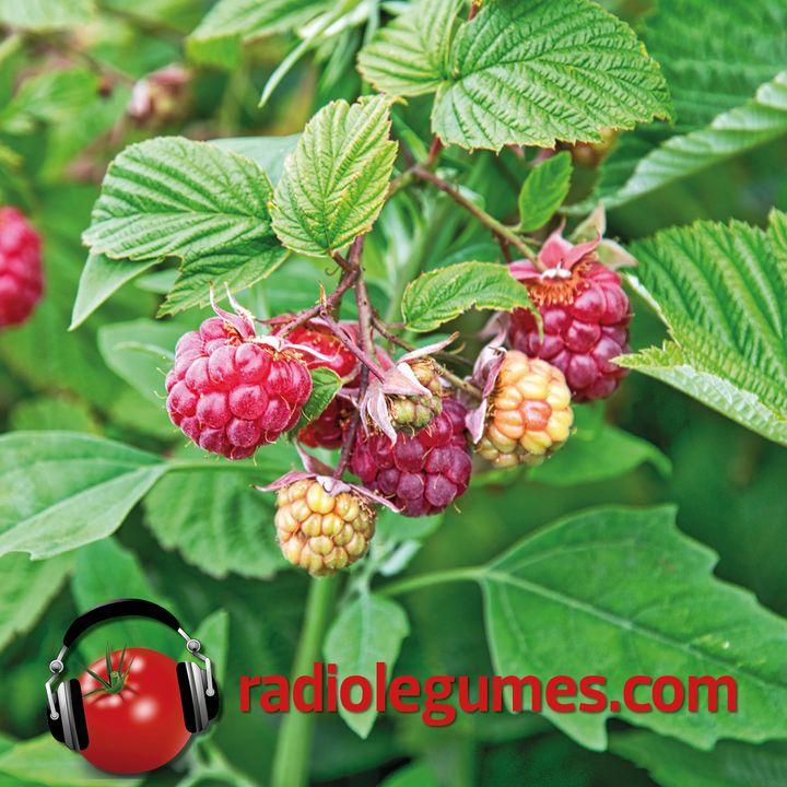 Un fruit au naturel: la framboise