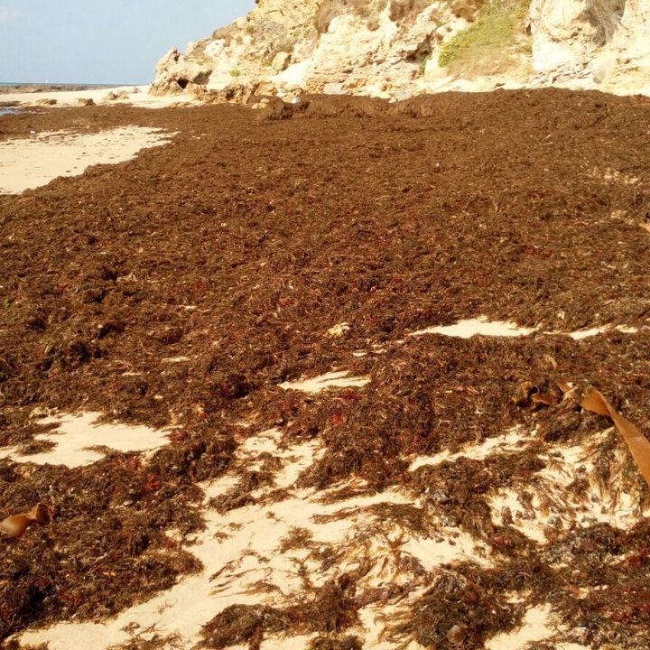 Alga invasora en el Estrecho de Gibraltar (Rugulopteryx okamurae) -  Ecologia en la Frontera 15/2/19