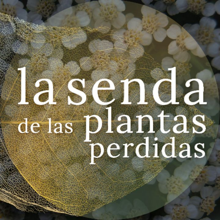 Flor de herida y oráculo: Achillea millefolium {La Senda de las Plantas Perdidas}
