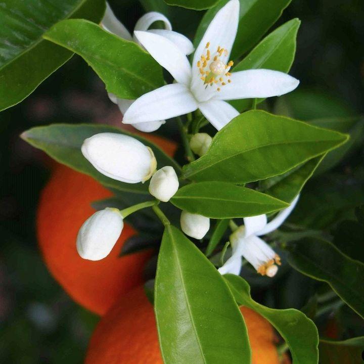 80_Bouquet di fiori d'arancio