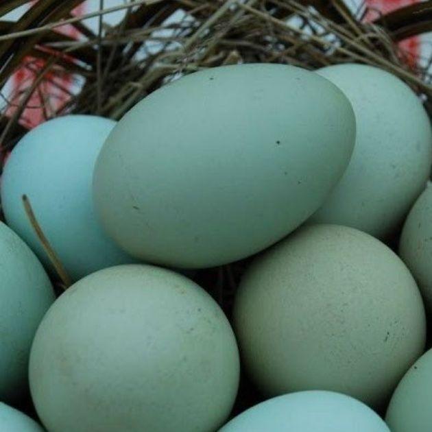 Lecce, galline che fanno le uova azzurre e color cacao «Sono naturali, nascono così»