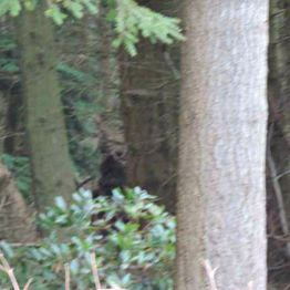 Bigfoot/Dogman Encounters
