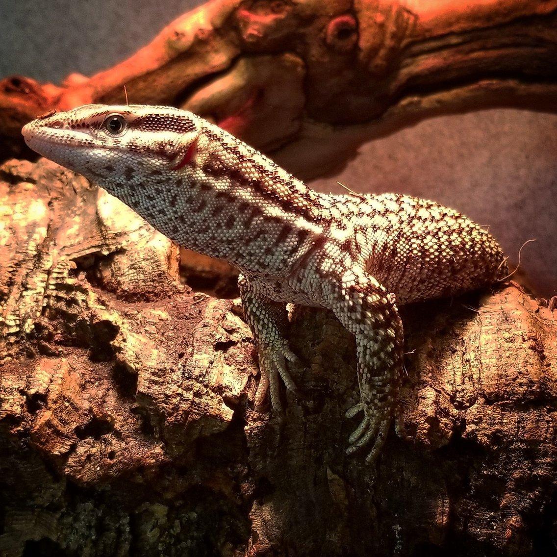 Lizard Brain Radio - immagine di copertina